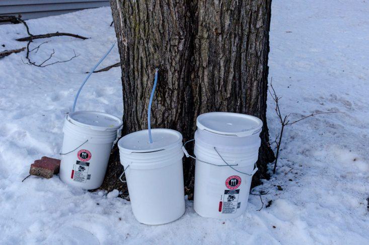 You are looking at two taps drilled and set with spouts and hose. As well as the buckets ready to catch the sap. This is from my post Maple Tapping on Leap Day.