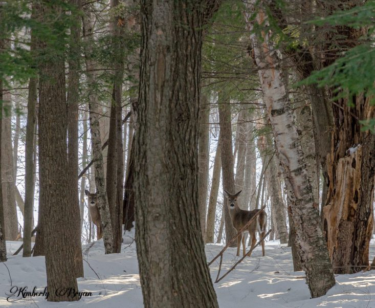 You are looking at two deer looking at me through a deep forest. They are the regulars who hang out in my hiking area. This is from my blog post, It's My Two Year Blog Anniversary Today