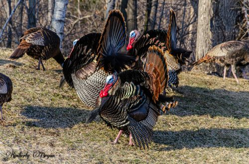 You are looking at three male turkeys all fluffed up. Spring is in the air and they are strutting their stuff.