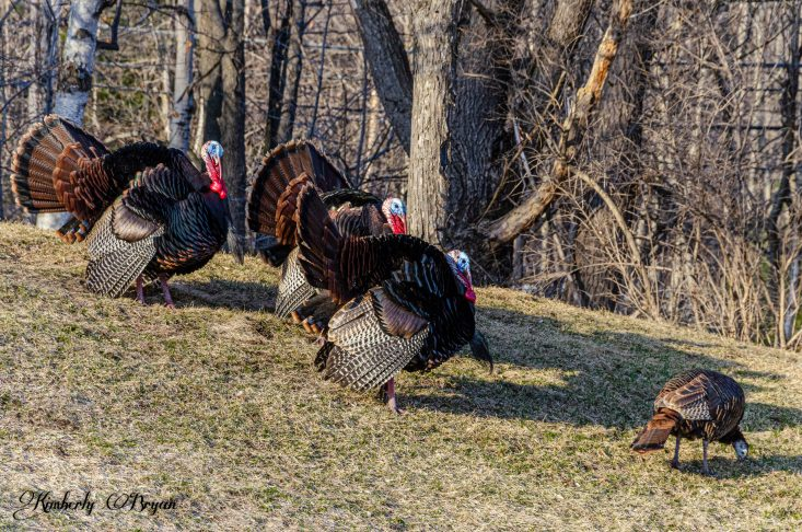 You are looking at three male turkeys strutting their stuff. Trying to impress the females. Theirs colors are vibrant, red, blue, white, black and brown.