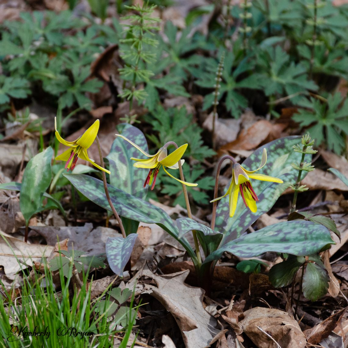 You are looking at Trout Lillie's a native woodland perennial that blooms early spring. It looks like a mini Lillie colored yellow and red. It's leaves are green with darker green spots. Happy Mother's To Us All!