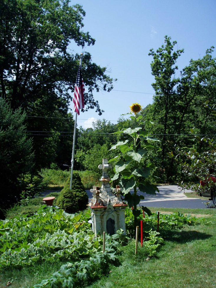 You are looking at my over 10 feet tall sunflower bloom, and my pumpkin patch. I love to garden and give all the credit to my dad for teaching me his techniques. Happy Father's Day To All The Father's Out There!