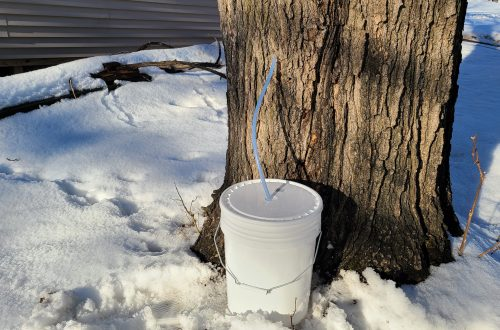 You are looking at a single five gallon test bucket. With a hose attached to the maple tree from a spill. That goes down into the bucket. I'm testing to see if the maple sap is running yet. If it is, I'll tap my other trees for maple syrup season.