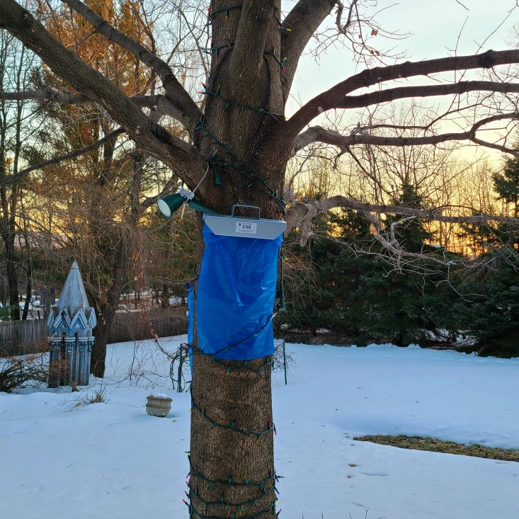 You are looking at a sugar bag mounted on a red maple. I use sugar sap collector bags on trees that are more difficult to tap. The sugar bags don't hold as much sap, but they work very well for smaller maple trees.
