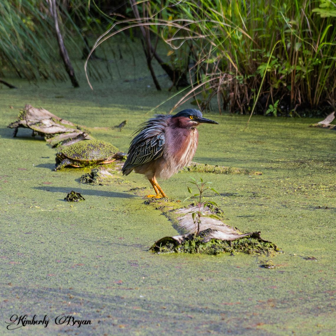 You are looking at a Green Heron standing on a log a long side a painted turtle. In the middle of a pond waiting for it's next meal.